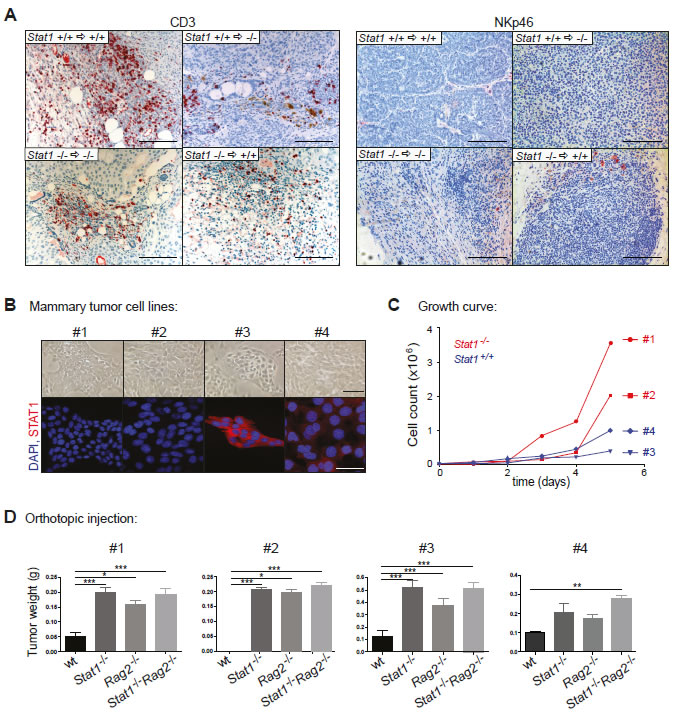Mammary tumor growth is mainly controlled by cytotoxic T-cells and only to a minor extent by NK-cells.
