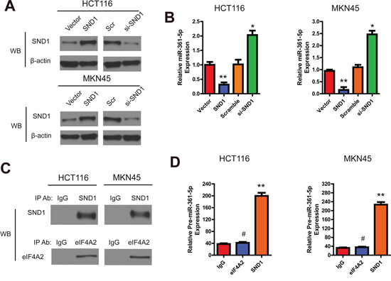 SND1 downregulates the miR-361-5p expression in CRC and GC cells.