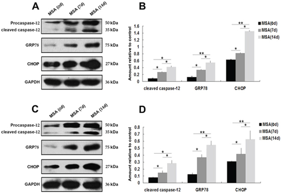 Effect of MSA-CSF on the expression of GRP-78, CHOP and caspase-12 in SH-SY5Y and U251 cells.