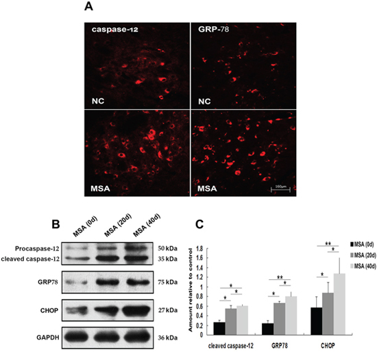 Induction of ER stress in mouse substantia nigra following chronic MSA-CSF exposure.