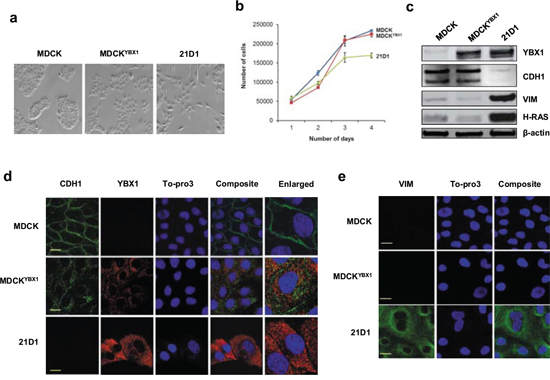 YBX1 overexpression induces partial EMT in MDCK cells.