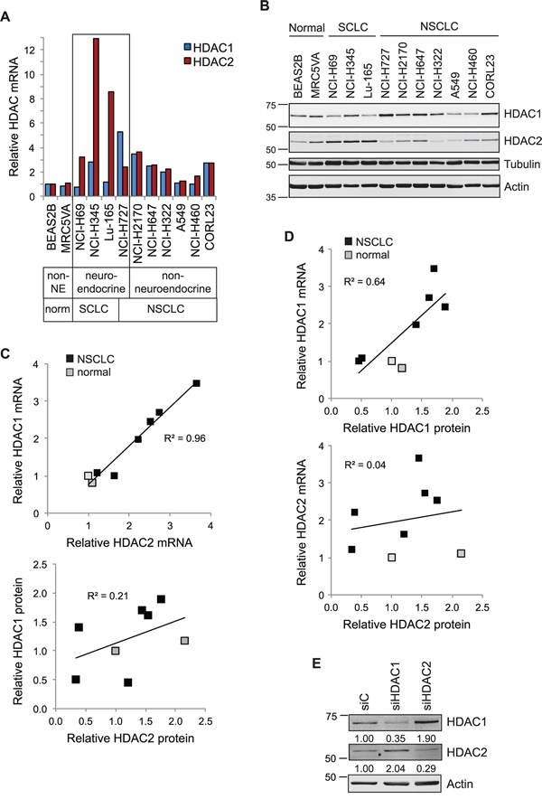 Interdependency of HDAC1 and HDAC2 expression in lung cancer cell lines.