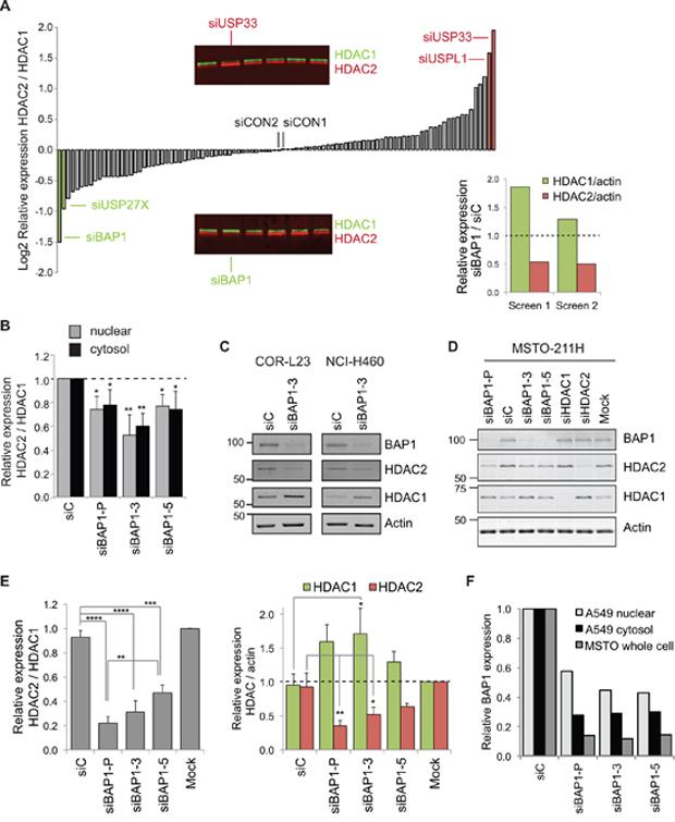 BAP1 regulates the balance of HDAC2 and HDAC1 expression.