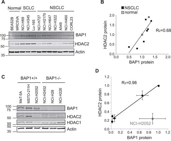 Endogenous BAP1 and HDAC2 expression are positively correlated.