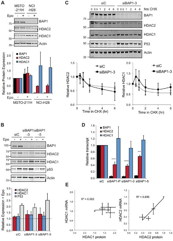 BAP1 regulates HDAC2 at the transcript level.