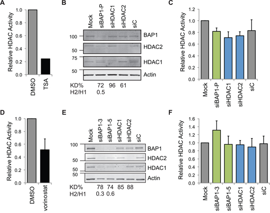Neither HDAC nor BAP1 depletion alters total cellular HDAC activity.