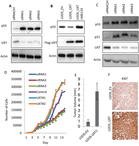 UXT functions as an oncogene via suppression of p53 activity.