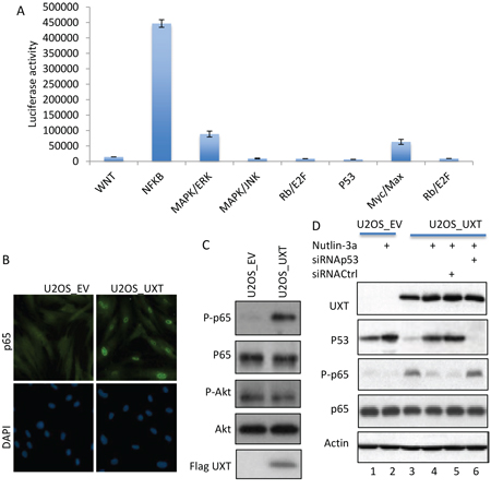 UXT-induced p53 inhibition caused activation of NF-B.