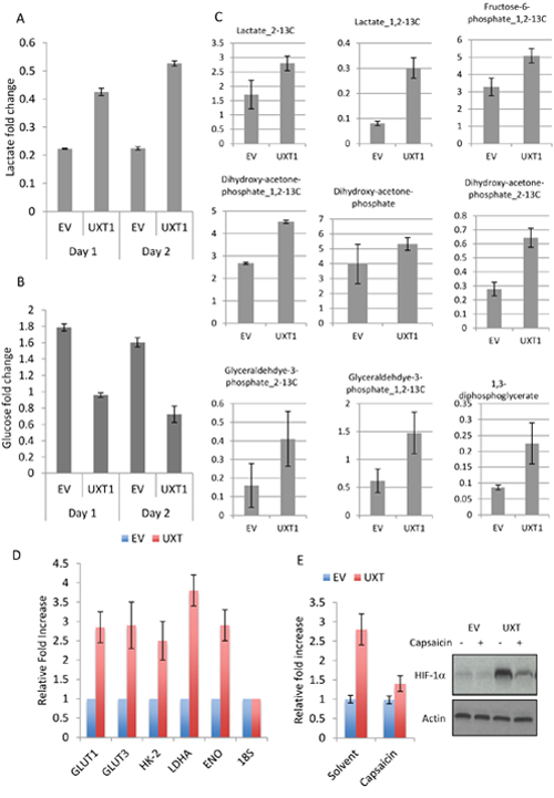 UXT induces glycolytic metabolism by NF-κB-dependent upregulation of HIF-1α.