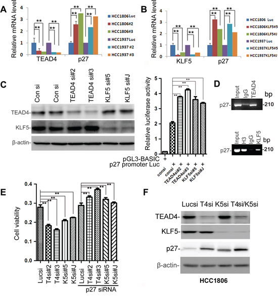 TEAD4 and KLF5 promote cell proliferation partially by suppressing the p27 gene transcription together in TNBC cell lines.