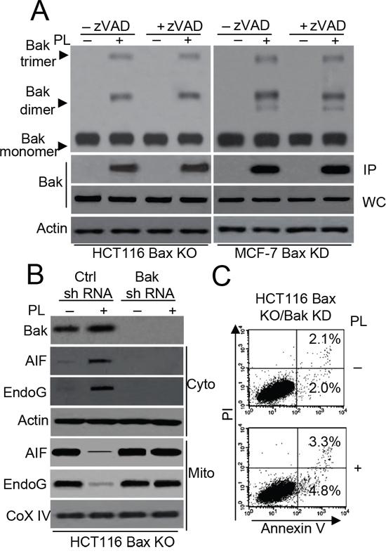 Bak regulates PL-induced cell death in HCT116 Bax KO cells.