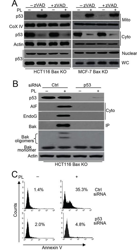 p53 mediates Bak activation.