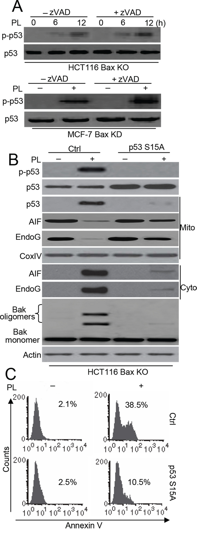 p53 phosphorylation contributes to p53-dependent Bak-induced cell death.