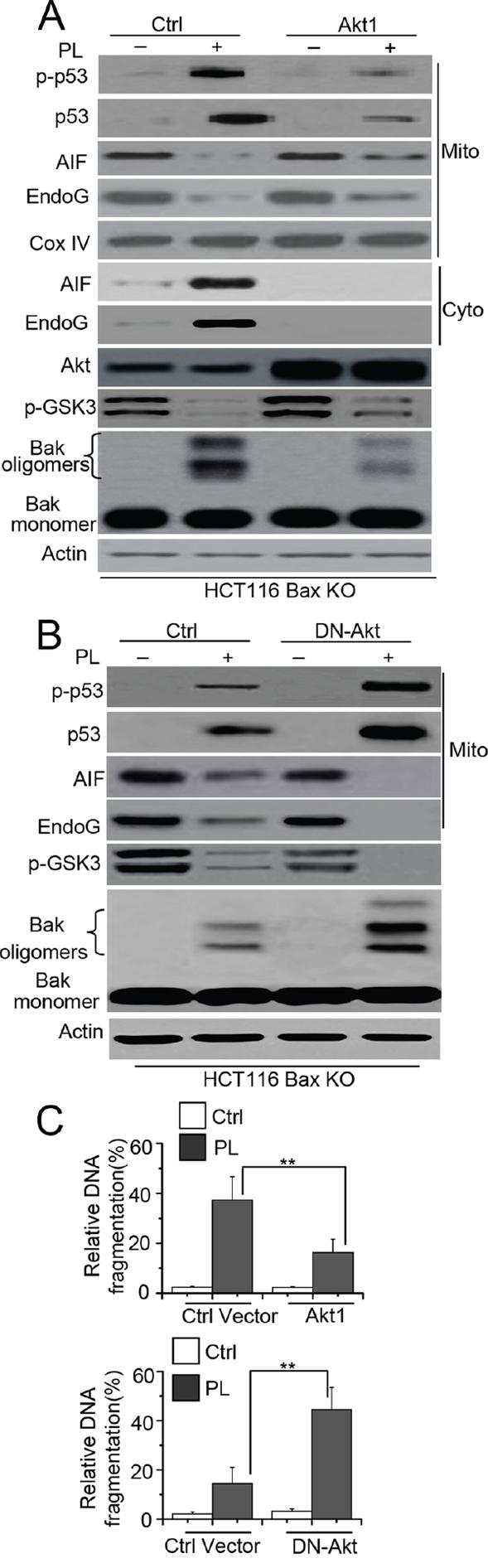Akt mediates p53 phosphorylation and mitochondrial translocation.