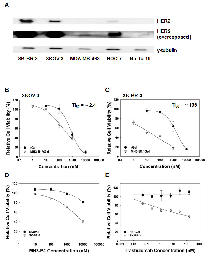 Cellular HER2 expression and cytotoxicity of HER2-targeted compounds.