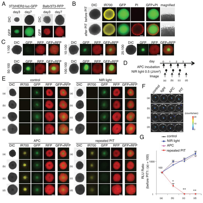 Evaluation of NIR-PIT effect on 3D cell monoculture and 3D mixed cell culture.