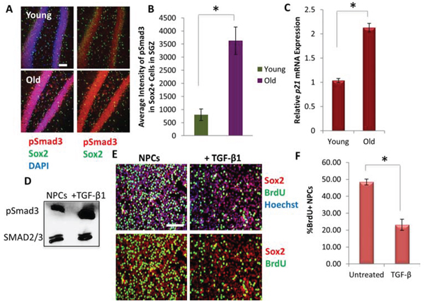 Downstream effectors of TGF-β Signaling increase with Age in Mice Hippocampi and inhibits Neural Progenitor Cell Proliferation.