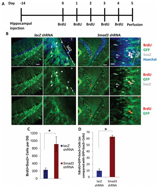 Rescue of Neurogenesis in Aged Hippocampi by in vivo Genetic Inhibition of Smad3.