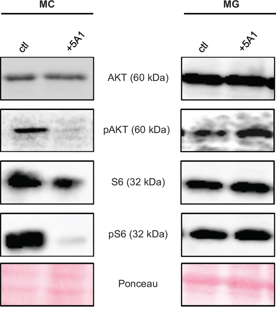 CSF-1R downstream-signaling is affected by 5A1 in MC but not in MG.