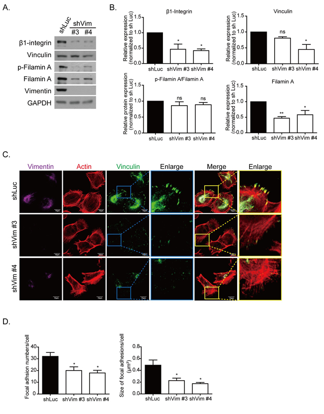 Knockdown vimentin decreases formation of focal adhesions.