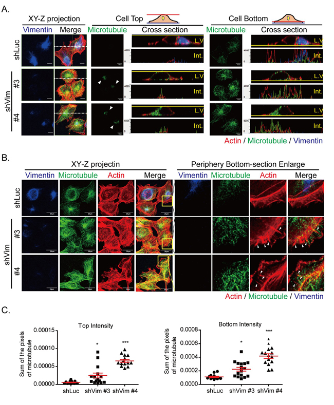 Microtubule is reoriented toward cell top and bottom in vimentin knockdown cells.