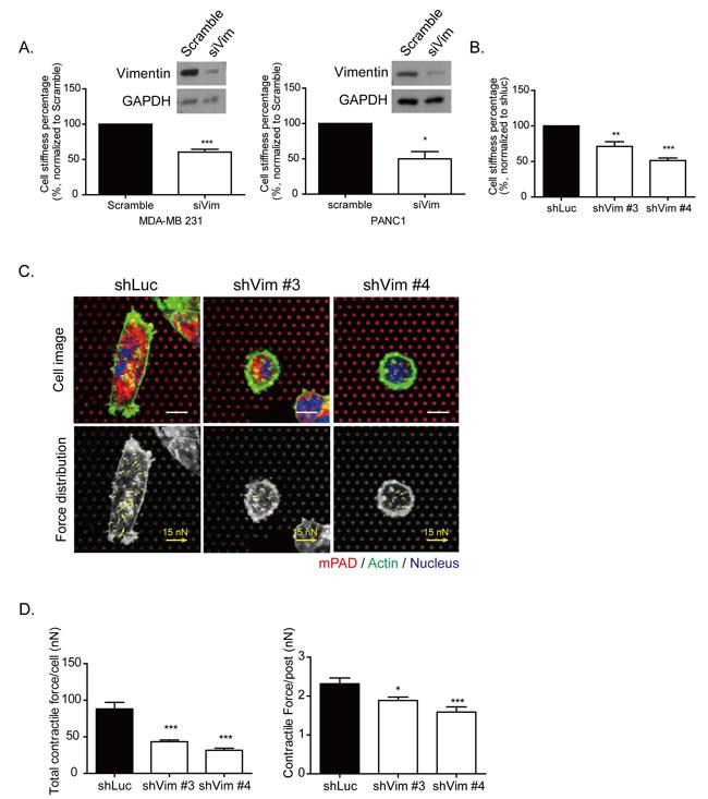 Knockdown vimentin impairs mechanical strength of cells.