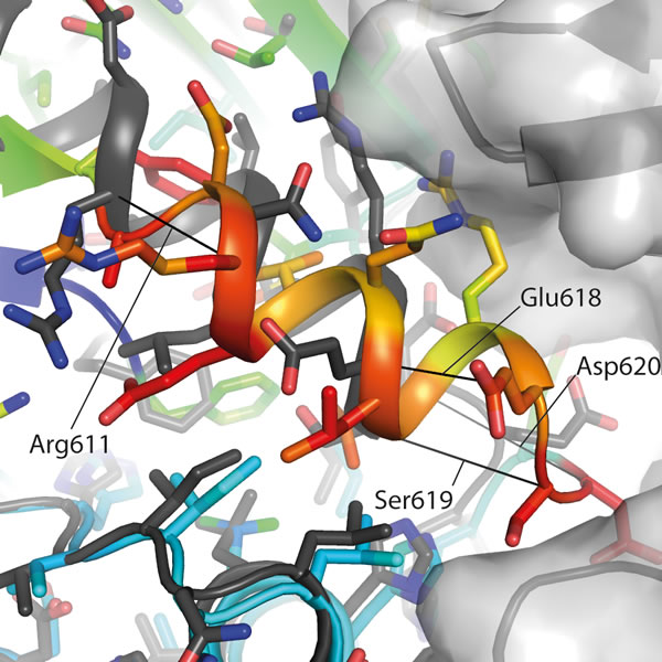 The αC-helix in the ADP-hIRE1 structure is incompatible with back-to-back dimer formation.