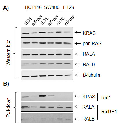 Effects of KRAS signaling on RALA and RALB expression and activity.