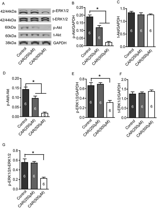 Carvacrol reduced p-Akt and p-ERK1/2 protein levels in U87 cells.