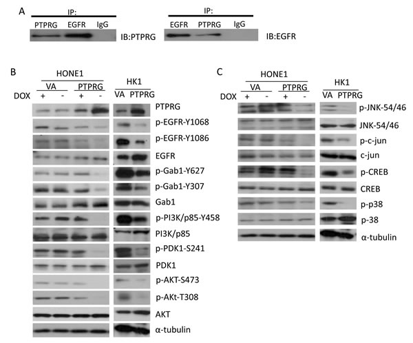 PTPRG interacts with EGFR and regulates the EGFR/PI3K/Akt signaling pathway.