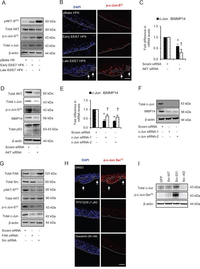 Src-focal adhesion kinase (FAK) signalling regulates the expression and activation of c-Jun via AKT activation.
