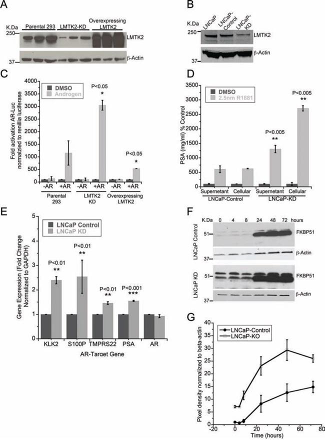 LMTK2 inhibits AR transcriptional activity.