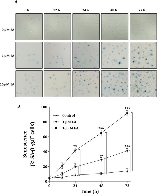 Senescence of H1299 cancer cells induced by embonic acid (EA).
