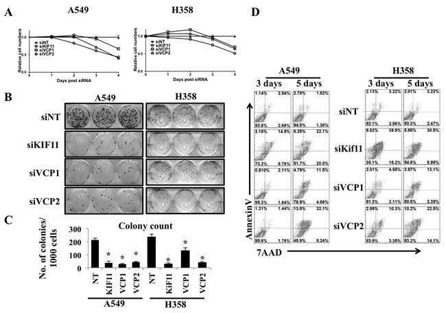 Prolonged VCP loss causes cell death.