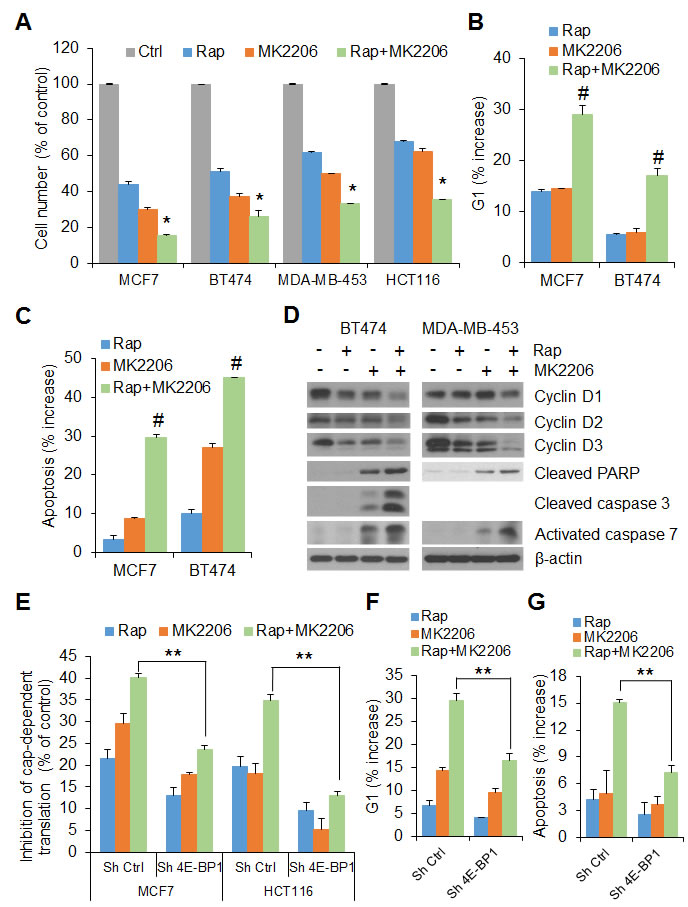 4E-BP1 integrates the effects of AKT and mTORC1 signaling on cell proliferation and survival.