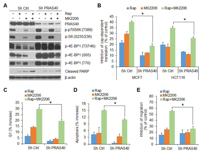 PRAS40 integrates the effects of AKT and mTORC1 signaling on 4E-BP1-regulated translation, cell proliferation, survival and motility.