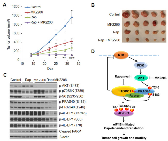 Combined inhibition of AKT and mTORC1 is required to dephosphorylate PRAS40 and 4E-BP1 and suppress tumor growth