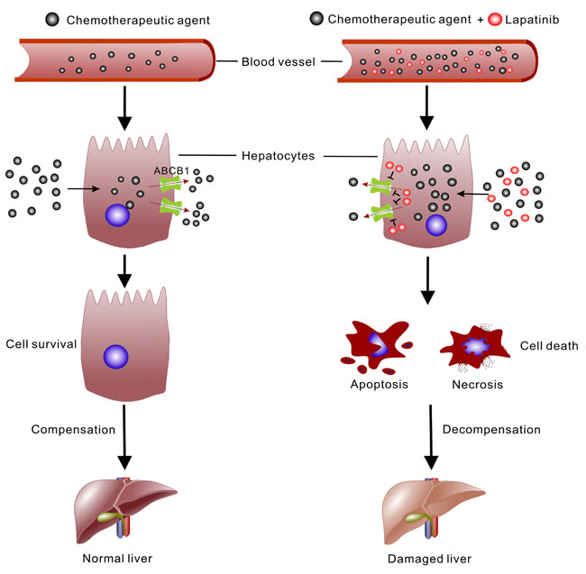 Schematic illustration of the mechanism of lapatinib promoting the cytotoxic effect of chemotherapeutic agent in liver.