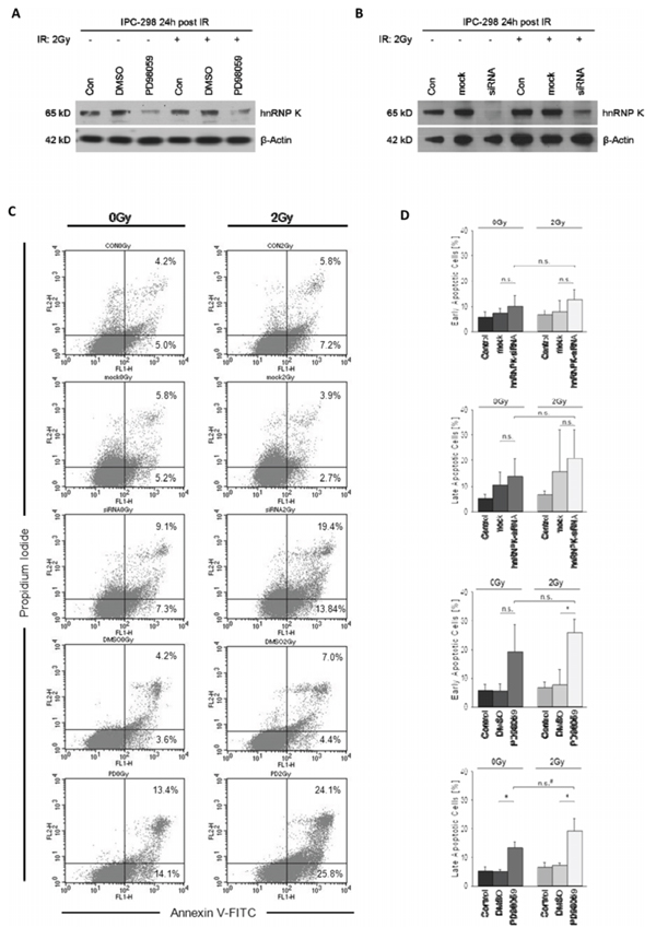 Figure: A and B. MEK inhibition with PD98059 for 24 hours post-IR impairs normalization of cellular hnRNP K levels in irradiated and non-irradiated IPC-298 cells comparable to the hnRNP K knockdown phenotype.
