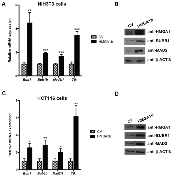 HMGA1 increases mitotic spindle regulator genes at both RNA and protein level.