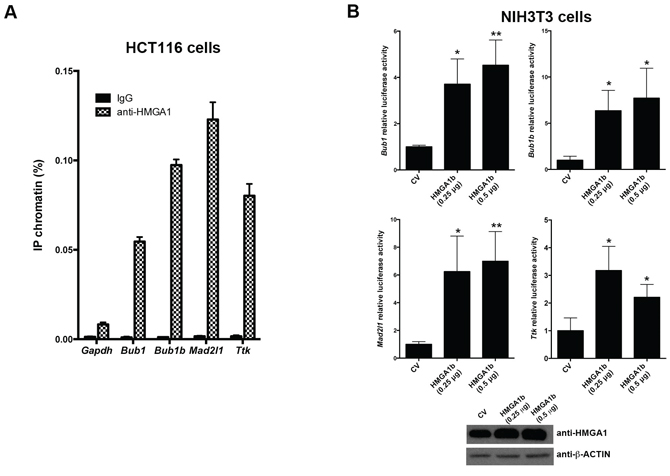 HMGA1 protein binds Bub1, Bub1b, Mad2l1 and Ttk promoters in vivo and increases their transcriptional activity.