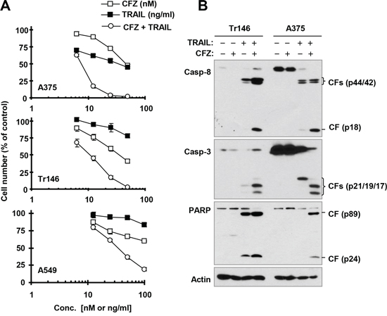 The combination of CFZ and TRAIL augments killing of cancer cells (A) with enhanced activation of caspases (B)