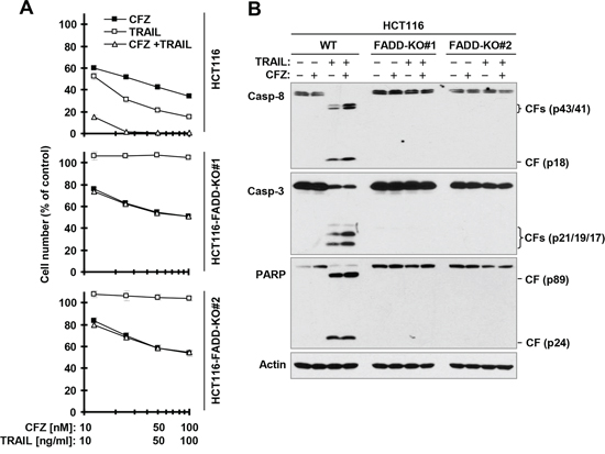 FADD deficiency abolishes augmented induction of apoptosis by the CFZ and TRAIL combination.