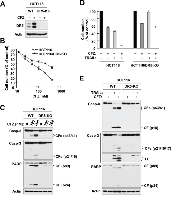 DR5 deficiency (A) protects cancer cells from undergoing apoptosis induced by CFZ (A and C) or CFZ and TRAIL combination (D and E).