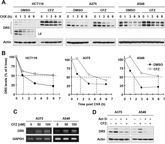 CFZ stabilizes DR5 protein (A and B) and increases DR5 transcription (C and D) in cancer cells.