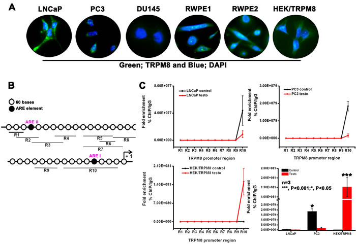 Role of ARE elements in the regulation of trpm8 gene expression.