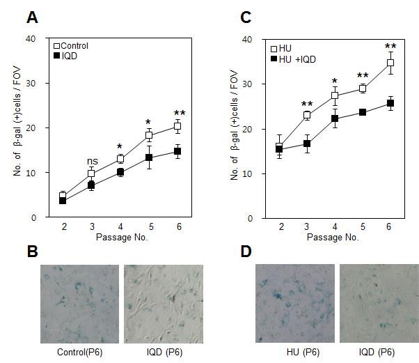 Effect of 1,5-isoquinolinediol (IQD) on formation of β-galactosidase.