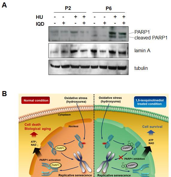 Inhibitory effect of 1,5-isoquinolinediol (IQD) on PARP1 activity.