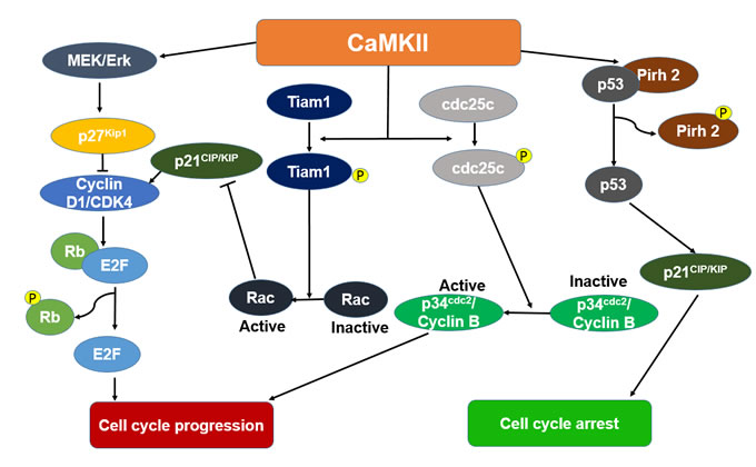 The proposed mechanisms depicting the cell cycle effect of Ca2+/calmodulin dependent protein kinase II (CaMKII) in cancer.