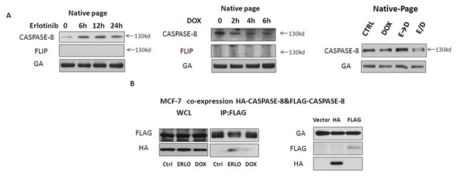 Erlotinib promotes pro-caspase-8 homodimerization.